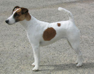 photo du Fox Terrier � Poil Lisse