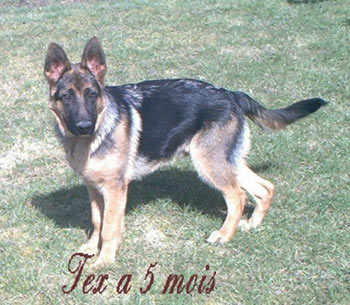 education berger allemand chiot