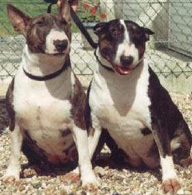 club de race bull terrier