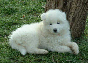 SAMOYEDE, GROUPE 5 : chiens et chiots