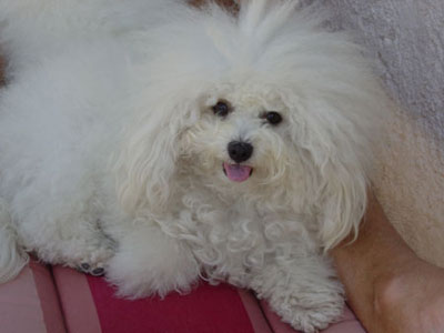 club de race bichon maltais